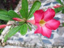 Fiore del Adenium fotografia stock libera da diritti