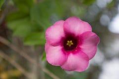 fiore del allamanda immagine stock
