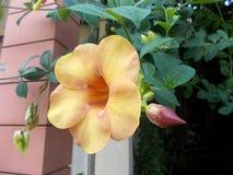 fiore del allamanda Fotografia Stock Libera da Diritti