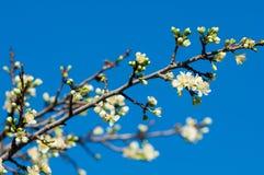 Fiore del Apple fotografia stock