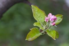 Fiore del Apple Immagini Stock