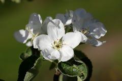 Fiore del Apple Immagine Stock Libera da Diritti