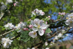 Fiore del Apple Fotografie Stock Libere da Diritti