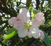 Fiore del Apple sull'albero Fotografia Stock