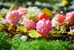 Fiore del balsamo Fotografie Stock Libere da Diritti