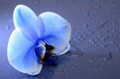 Fiore del blu dell'orchidea Immagini Stock Libere da Diritti