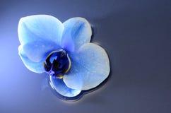 Fiore del blu dell'orchidea Fotografia Stock