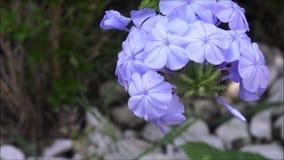 Fiore del blu violaceo con fondo confuso al giardino del cortile posteriore archivi video