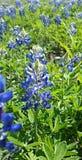 Fiore del Bluebonnet Fotografia Stock Libera da Diritti
