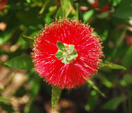Fiore del Bottlebrush Fotografia Stock