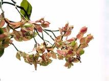 Fiore del Bougainvillea Fotografie Stock Libere da Diritti
