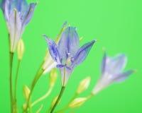 Fiore del Brodiaea Fotografia Stock