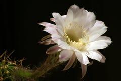 Fiore del cactus Fotografia Stock Libera da Diritti