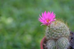 Fiore del cactus Immagini Stock