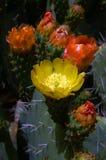 Fiore del cactus Fotografia Stock