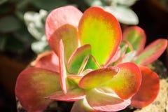 Fiore del cactus Immagine Stock