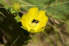 Fiore del cactus con l'ape Fotografia Stock
