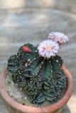 Fiore del cactus del Gymnocalycium fotografie stock libere da diritti