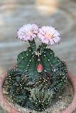 Fiore del cactus del Gymnocalycium fotografia stock libera da diritti