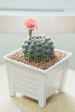 Fiore del cactus del Gymnocalycium Immagini Stock Libere da Diritti