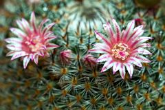 Fiore del cactus di mammillaria con rugiada fotografie stock