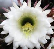 Fiore del cactus di Peruvianus del saguaro Immagini Stock Libere da Diritti