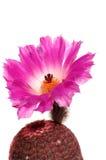 Fiore del cactus isolato su bianco Fotografia Stock