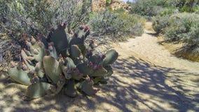 Fiore del cactus in Joshua Tree NP, California immagine stock