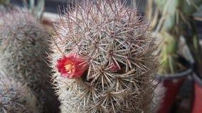 Fiore del cactus messo a fuoco Fotografia Stock Libera da Diritti