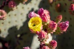 Fiore del cactus nel deserto immagini stock libere da diritti