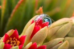 Fiore del cactus nella bolla Fotografie Stock Libere da Diritti