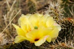 Fiore del cactus, opunzia Fotografia Stock