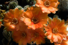 Fiore del cactus, silvestrii di Chamaecereus Fotografia Stock Libera da Diritti