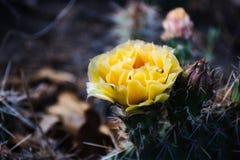 Fiore del cactus, singolo, scuro Fotografie Stock