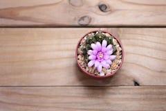 Fiore del cactus sulla vista superiore del fondo Immagine Stock Libera da Diritti