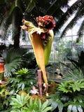 Fiore del cadavere in giardino botanico fotografia stock