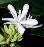 Fiore del caffè robusta Immagine Stock
