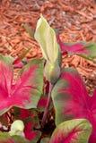 Fiore del Caladium in fioritura immagini stock
