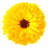 Fiore del Calendula fotografia stock