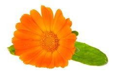 Fiore del calendula Fotografie Stock Libere da Diritti