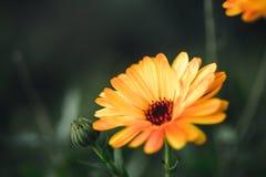 Fiore del Calendula Fotografie Stock