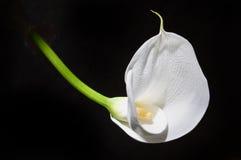 Fiore del Calla Fotografie Stock Libere da Diritti
