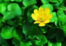 Fiore del caltha Fotografie Stock Libere da Diritti