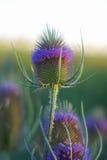 Fiore del campo Fotografie Stock