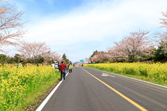 Fiore del canola della primavera sulla via a Jeju Fotografia Stock