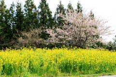 Fiore del canola della primavera sulla via a Jeju Immagini Stock Libere da Diritti