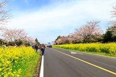 Fiore del canola della primavera sulla via a Jeju Fotografie Stock