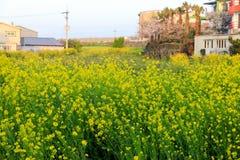 Fiore del canola della primavera sulla via a Jeju Immagini Stock