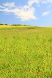 Fiore del canola di Hulunbeier aperto Fotografia Stock
