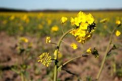Fiore del Canola, il raccolto della violenza, fondo Fotografia Stock